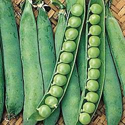 Maestro Pea   Pea Seed   Vegetable Seeds   Gurneys Seed & Nursery