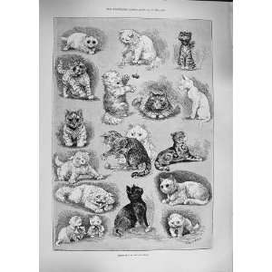 LOUIS WAIN 1892 KITTEN LIFE CAT SHOW PETS ANIMALS  Home