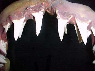 Mako Shark Jaws from the 1950s