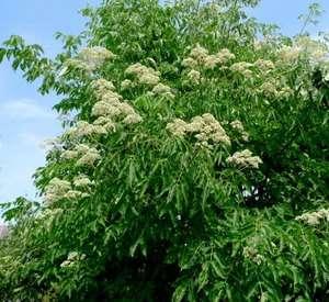 BEE TREE Evodia Hupehensis   20+EXTRA seeds. FAST GROWER