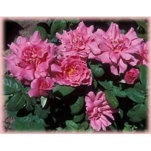 Perfume Delight (Rosa Hybrid Tea)   Bare Root Rose Patio