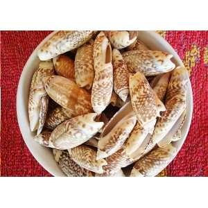Olive Seashells (Oliva Gibbosa)   24 pcs.