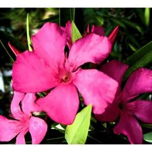 Live Plant Nerium Oleander Calypso Bright Hot Pink Flowers